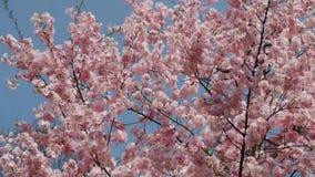 密集地被盖的开花的樱桃树 股票视频