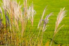 密集的丛中国银色草在夏天风摇摆在一个晴天 免版税库存照片