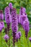 密集的多种花色鲜明之植物或鹿舌草spicata开花特写镜头,选择聚焦,浅DOF 库存图片