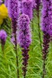 密集的多种花色鲜明之植物或鹿舌草spicata开花特写镜头,选择聚焦,浅DOF 免版税库存照片