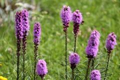密集的多种花色鲜明之植物花或鹿舌草spicata 库存照片