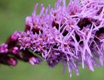 密集的多种花色鲜明之植物,大草原快乐羽毛鹿舌草spicata 库存图片
