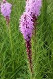 密集的多种花色鲜明之植物,大草原快乐羽毛鹿舌草spicata 免版税库存图片