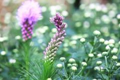 密集的多种花色鲜明之植物,尖Gayfeather,按钮蛇根 免版税库存照片