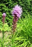 密集的多种花色鲜明之植物(鹿舌草spicata) 库存照片