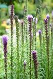 密集的多种花色鲜明之植物(鹿舌草spicata) 库存图片