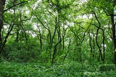 密集的密林 免版税库存图片