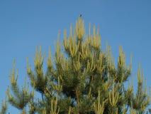 密集的杉木在背景中分支,蓝天 库存照片