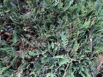 密集的杉树分支和针 库存图片