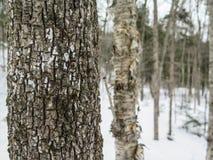 密集的树在新英格兰森林里在冬天 库存图片