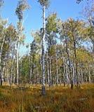 密集的桦树森林在秋天 库存图片
