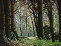 密集的森林辛特拉 库存照片