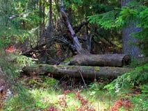 密集的森林 免版税图库摄影