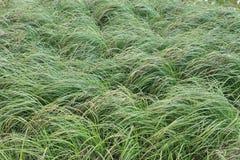 密集的绿草的图象与棕色头的在领域弯曲了在风的阵风下 库存图片