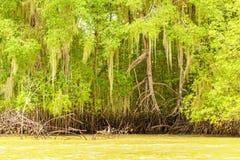 密集的美洲红树森林 免版税图库摄影