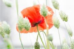 富兰德鸦片花、罂粟属rhoeas和黄雀色草 库存图片