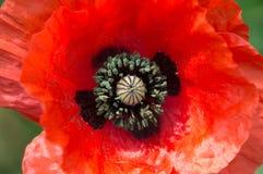 富兰德鸦片花,罂粟属rhoeas 花一红色 特写镜头 免版税库存图片