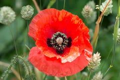 富兰德鸦片花,罂粟属rhoeas 花一红色 库存图片