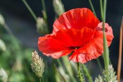 富兰德鸦片花,罂粟属rhoeas 花一红色 库存照片