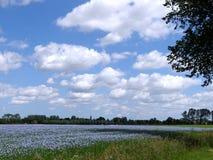 富兰德:与蓝色胡麻花的领域 库存图片