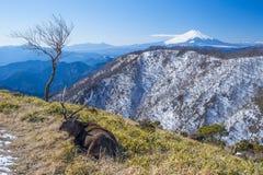富士山和放置鹿 库存图片