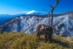 富士山和鹿 库存图片