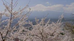 富士山视图和樱花树 影视素材