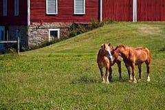 富感情的马在有红色谷仓的一个牧场地 库存图片