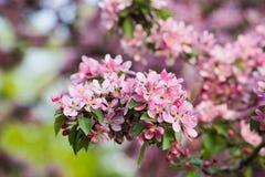 富有的开花的桃红色苹果计算机树 免版税库存照片