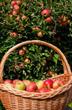 富有的苹果收获 免版税库存照片