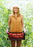 富有的蕃茄收获 免版税库存照片