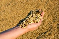 富有的麦子收获在8月 库存图片