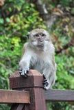 富有表情的面容猴子 免版税库存图片