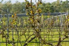 寒冷击中的葡萄园 库存图片