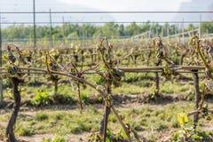 寒冷击中的葡萄园 免版税图库摄影