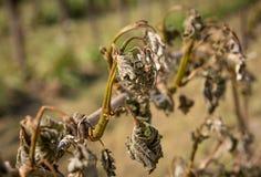 寒冷击中的葡萄园 库存照片
