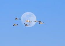 寒带苔原天鹅和满月 免版税图库摄影