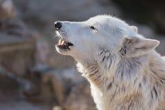 寒带草原白色极性狼关闭 拉丁名字-天狼犬座arctos 免版税库存图片