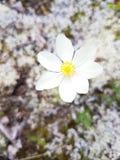 寒带草原花在阿拉斯加 库存照片