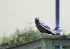 寒鸦乌鸦座monedula,成人在结构, Newquay栖息 库存照片