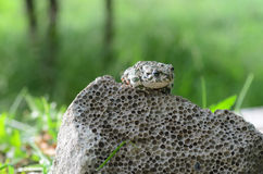 察觉了一只土制蟾蜍坐石头,特写镜头 Bufo bufo 绿色蟾蜍Bufo viridis照片宏指令 图库摄影