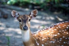 察觉了与白色胸口的一头幼小鹿,并且大眼睛调查摄象机镜头 水平的框架 免版税库存照片