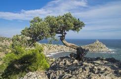寡妇在峭壁的杜松树在海上 克里米亚 免版税库存图片