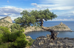 寡妇在峭壁的杜松树在海上 克里米亚 库存照片