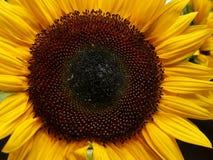 对一个美丽的黄色向日葵进行人身攻击 免版税库存照片