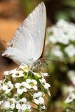 对一只白色蝴蝶的特写镜头 免版税库存图片