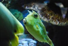 对一只长角牛海牛的绿色颜色在海洋 免版税库存照片