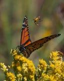 对一只黑脉金斑蝶的攻击由臭虫 库存照片