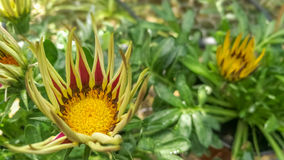 对一朵黄色花的特写镜头有绿色背景 库存图片