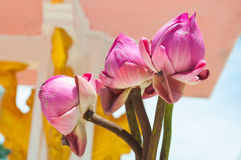对三美丽的莲花芽花的特写镜头 库存图片